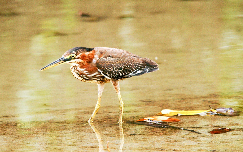 Birdwatching-Manuel-Antonio-Tours-0015